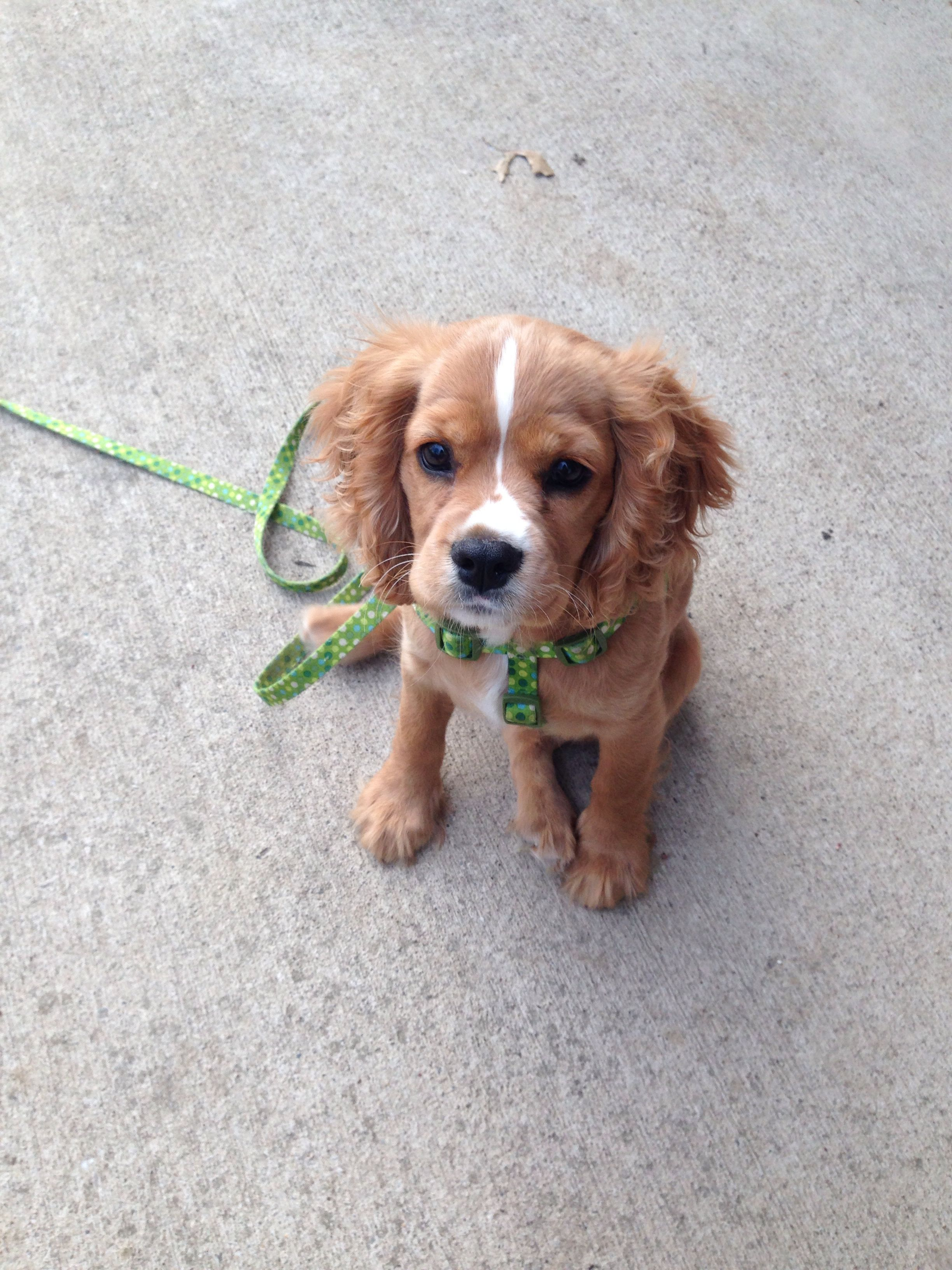 King Charles Cavalier Mixed With Cocker Spaniel Cockalier Cavalierkingcharlesspanielmix Chien Chat Mignon
