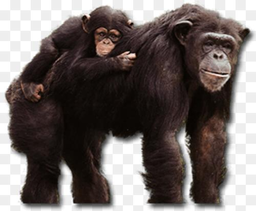 Common Chimpanzee Png Pan Hominoid1101 500 411 Png Download Free Transparent Background Common Chimpanzee Png Png Dow Chimpanzee Animal Icon Cow Pictures