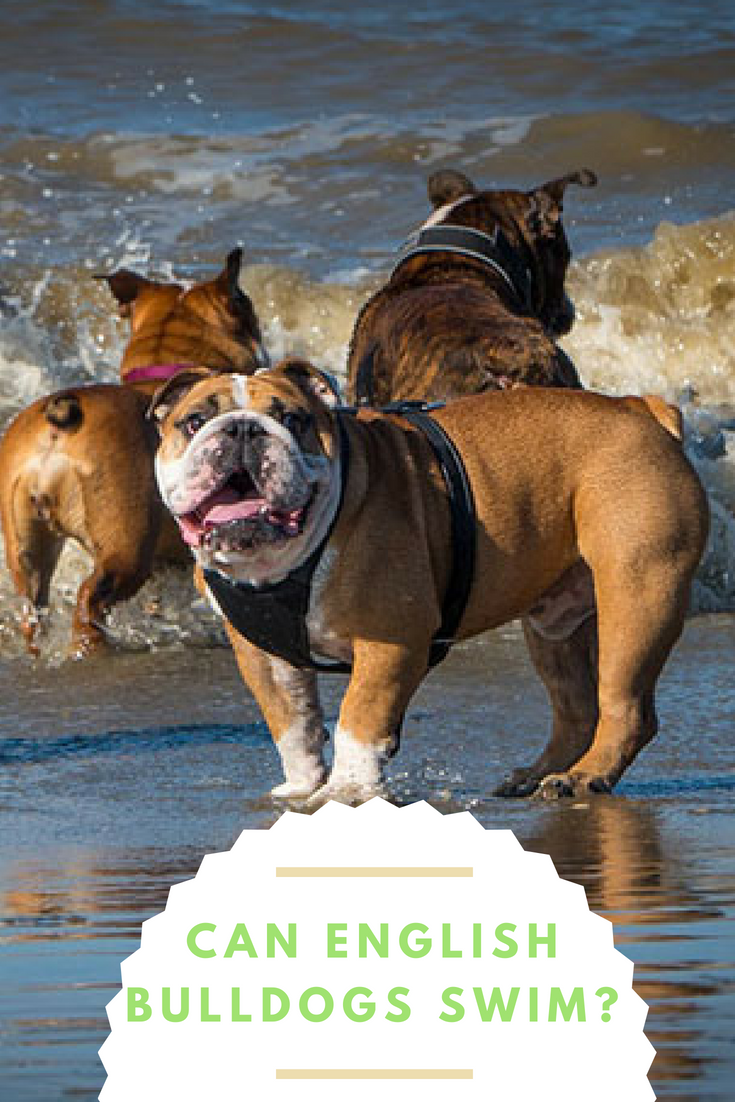 Can English Bulldogs Swim English bulldog, Bulldog, Swimming