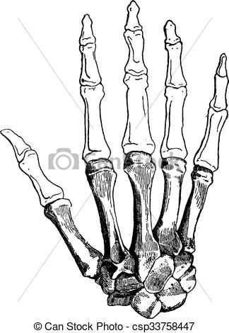 Resultado de imagen para huesos de las manos dibujos  Anatomia2
