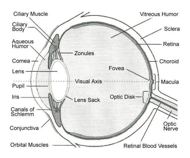 Human Anatomy Eye Diagram Koibana Info Eye Anatomy Diagram Human Eye Diagram Eye Anatomy