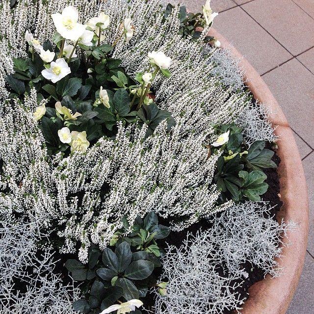 Kukkaideoita kaupungilta 2/4: jouluruusu samassa istutuksessa kanervien ja hopealangan kanssa. #kukkaideoitakaupungilta #jouluruusu #helleborus #kanerva #calluna #hopealanka #calocephalusbrownii #helsinki