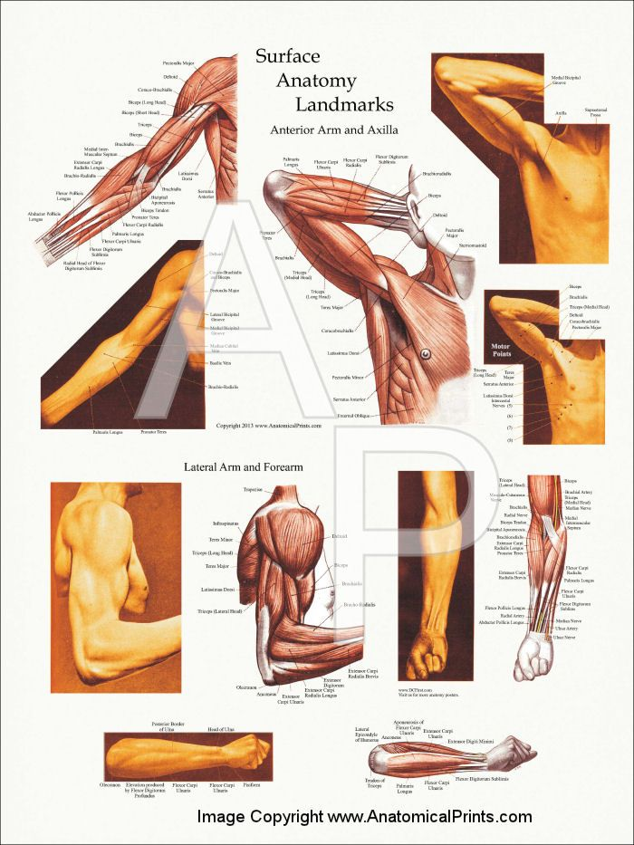 Upper Body Surface Landmarks of the Muscles Posters 18\