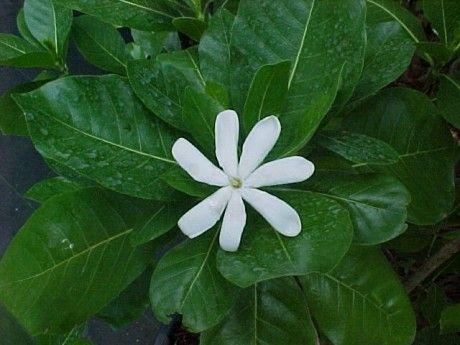 Tahitian Gardenia Tiare For Sale Tropical Plants Melbourne Florida Brevard Plants Tropical Plants Gardenia Plant