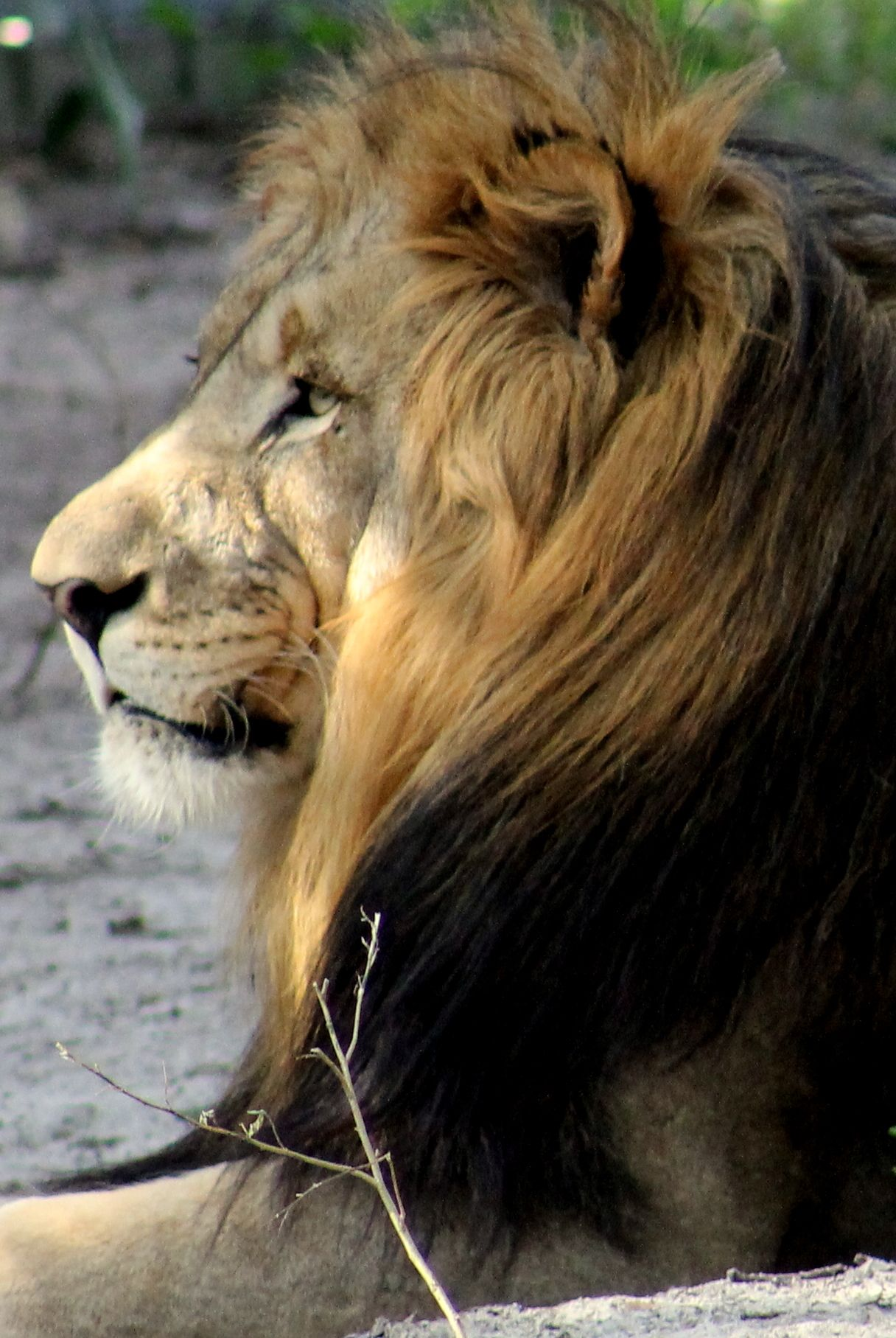 Lion , animal , fierce , love , courage , stealth , stability , calm