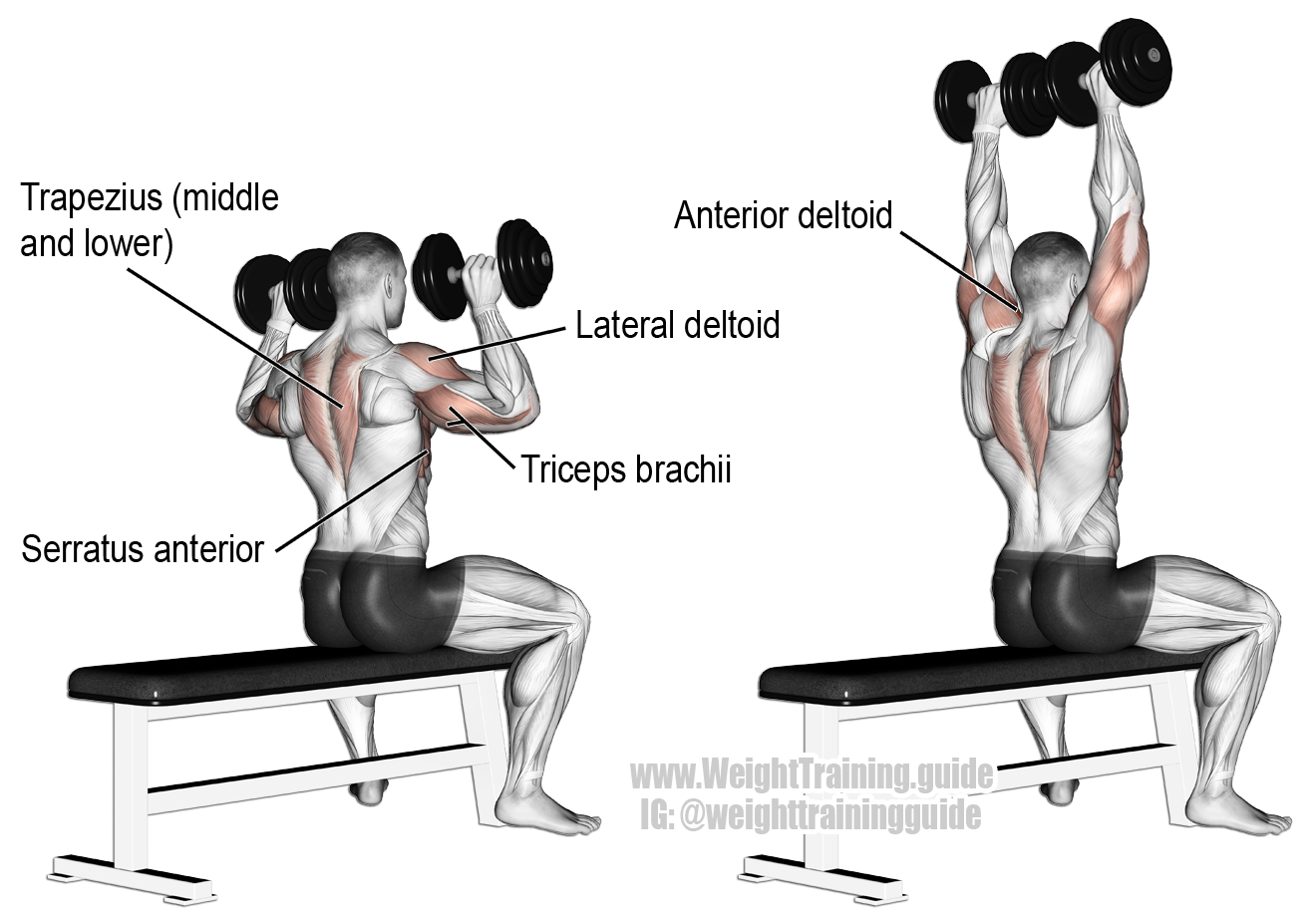 Seated dumbbell overhead press. A compound exercise. Target muscle: Anterior Deltoid. Synergists ...