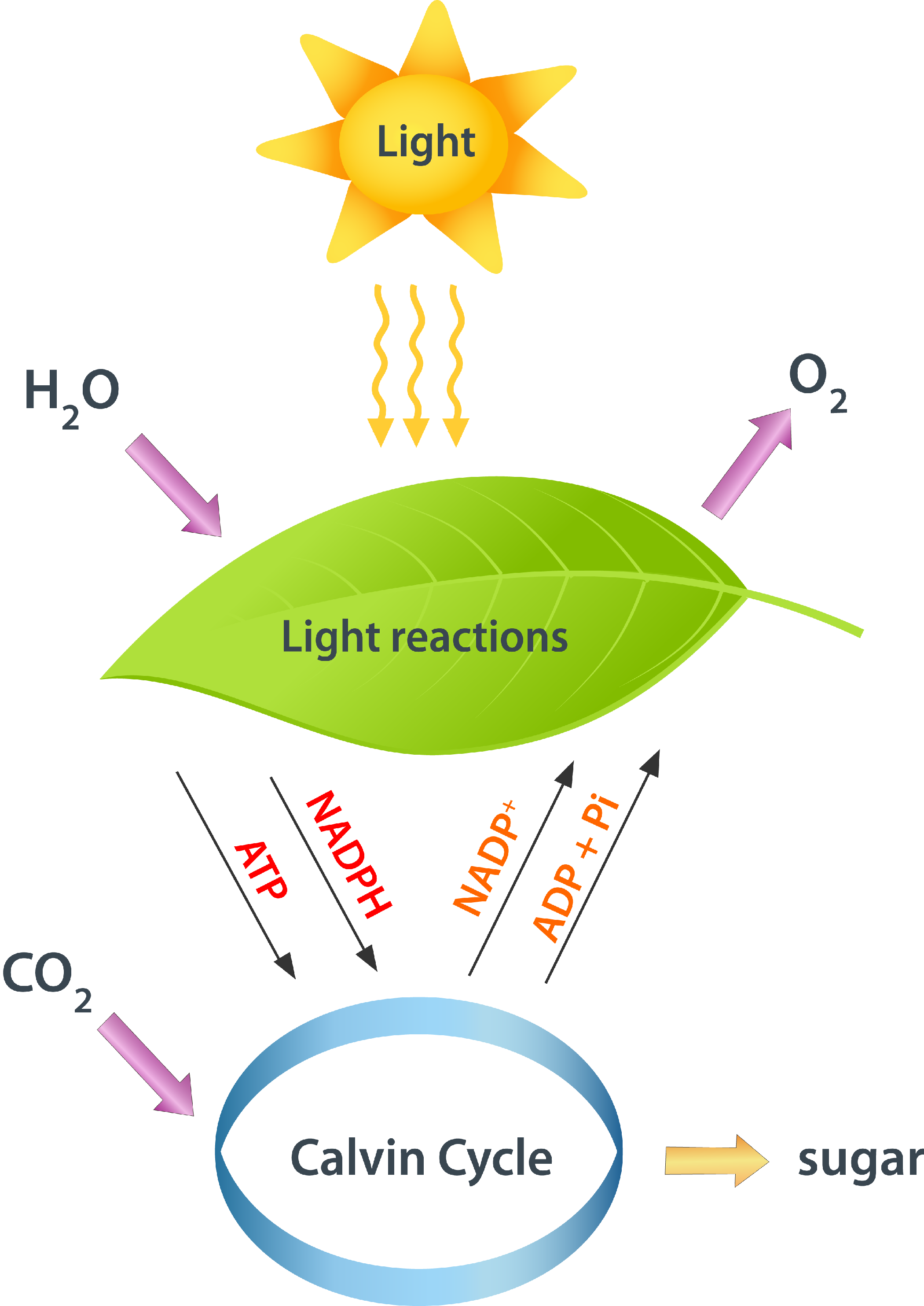 Bio 04 04 photosynthesis cellular respiration pinterest diagram of the steps of photosynthesis ccuart Gallery
