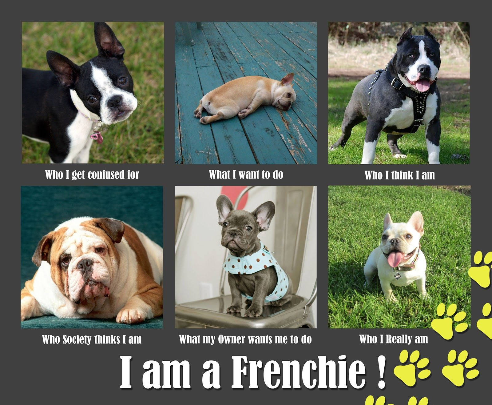 A Collection Of French Bulldog Memes French Bulldog Funny