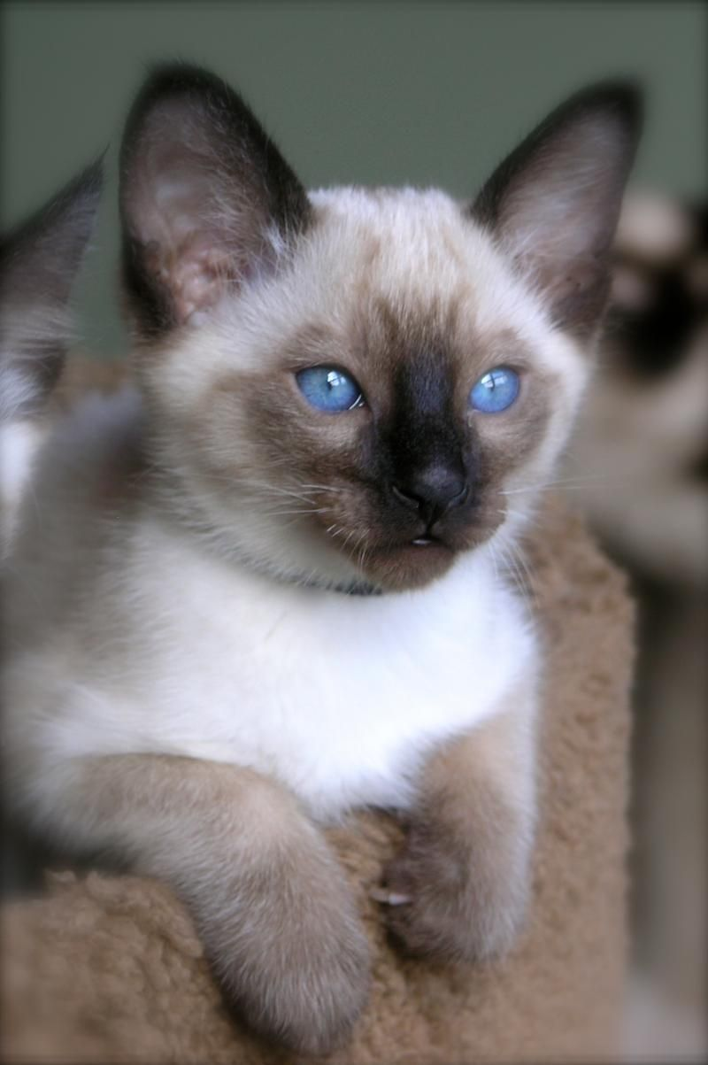 Classic Siamese Cats Siamese Kittens Siamese Cats Kittens