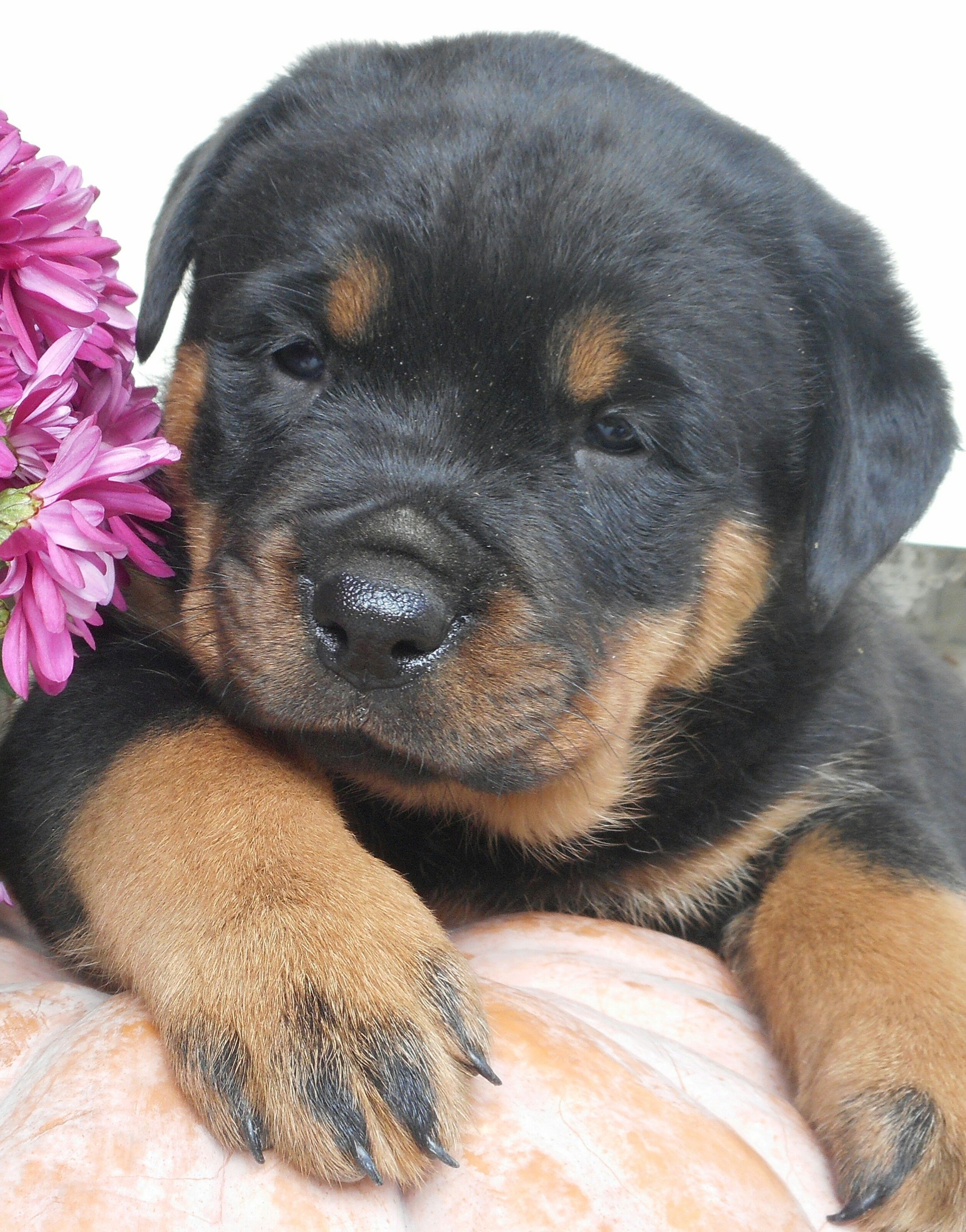 Pin By Julie Kelly On Animals Rottweiler Puppies Rottweiler
