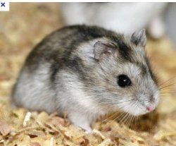 How to take care of a syrian hamster
