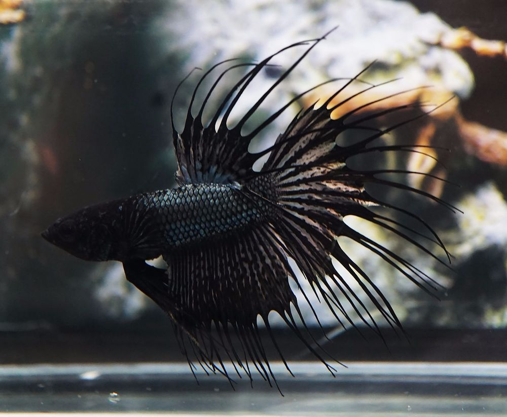 Live Betta Fish Black Orchid Dragon Ct Crowntail Pair Male Female