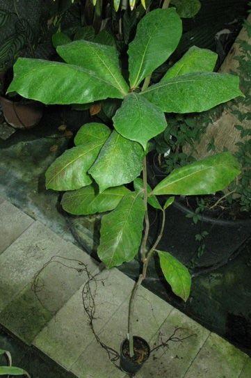 Pépinière Palmaris Terminalia catappa