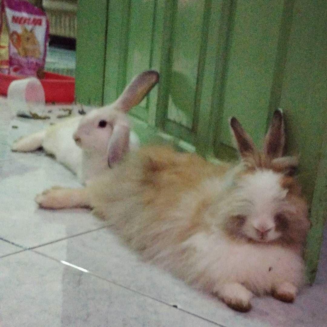 gud nite! Salam dr Kimmy & Kimmo #bunny #rabbits #pets #mypets #lazybunny #sleepy #wanttosleep #goodnight #bunnylife #bunnyday #cute #bunnyrabbit #pictureoftheday #pictofthenight #instaanimal #instapets #instagood by agungsrimarlina_