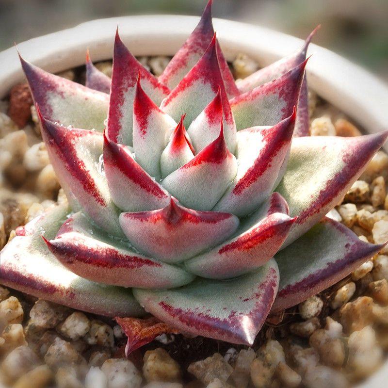 Echeveria agavoides /'Ebony/' 5cm Home Garden Rare Plant Succulent Live Plant