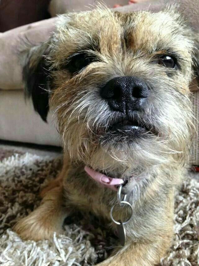 Border Terriers Image By Cynthia George Border Terrier Puppy