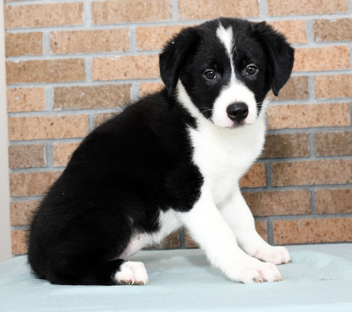Puppies For Sale Puppies Border Collie Puppies Collie Puppies