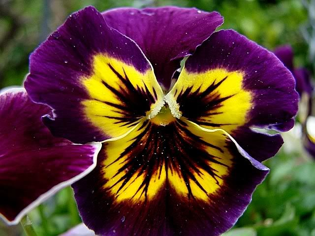 Deep purple and yellow pansy--these seem to grow ...