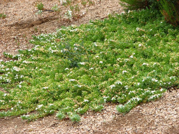 Myoporum Small White Flowers In Spring Good Cover On Slopes Low Water Needs Spreads Ground Cover Plants Fence Landscaping Waterwise Garden