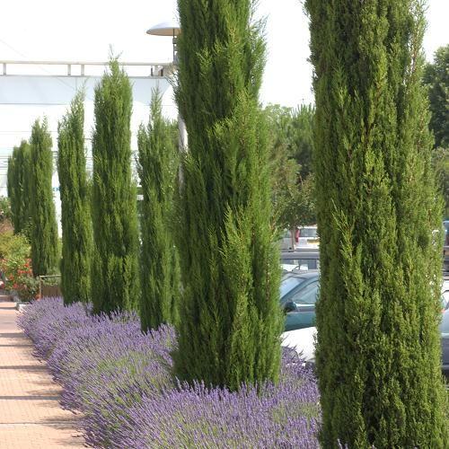 cypres accueil arbres conif res cypr s de florence jardin pinterest arbres. Black Bedroom Furniture Sets. Home Design Ideas