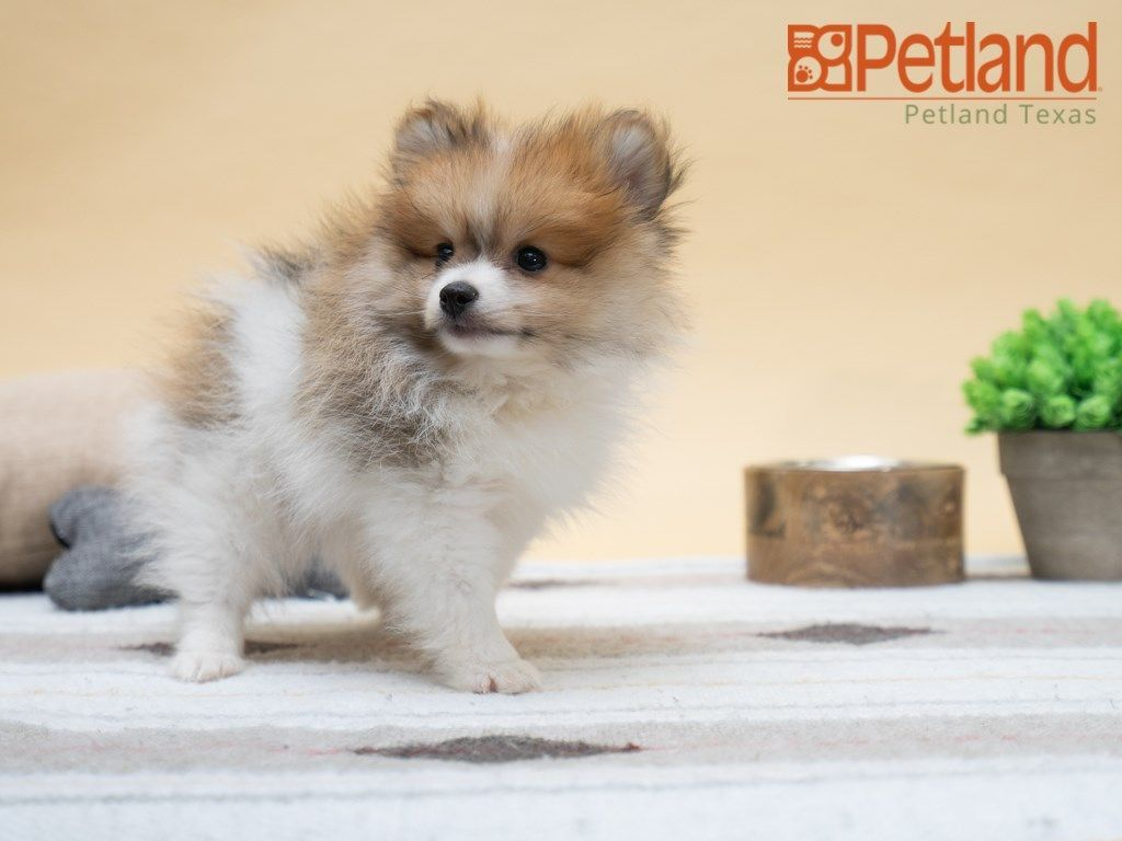 Petland Texas Has Pomeranian Puppies For Sale Check Out All Our