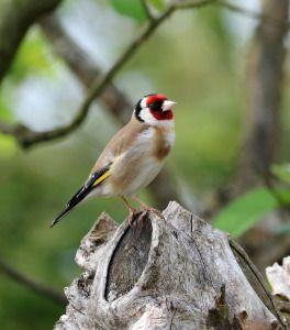 Alle Vogel Sind Schon Da Buchtipp Fur Vogelfreunde Goldfink Buch Tipps Tiere Malen