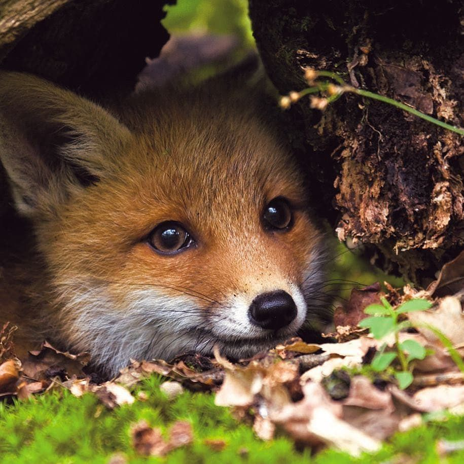 Photo of Domesticated or Wild Foxes Are Both Cute and Resourceful