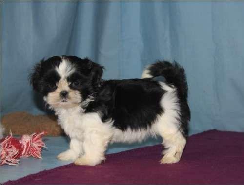 Shih Tzu Puppy For Sale In Tucson Az Adn 29423 On Puppyfinder