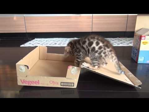 自分で箱を閉じる子猫 The kitten which closes a box ねこがやること5