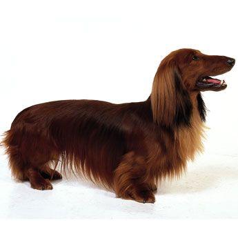 Dachshund Standard Dachshund Dog Dachshund Puppies Dachshund