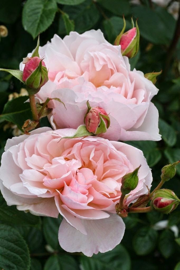 English Roses... I can almost smell them! <3
