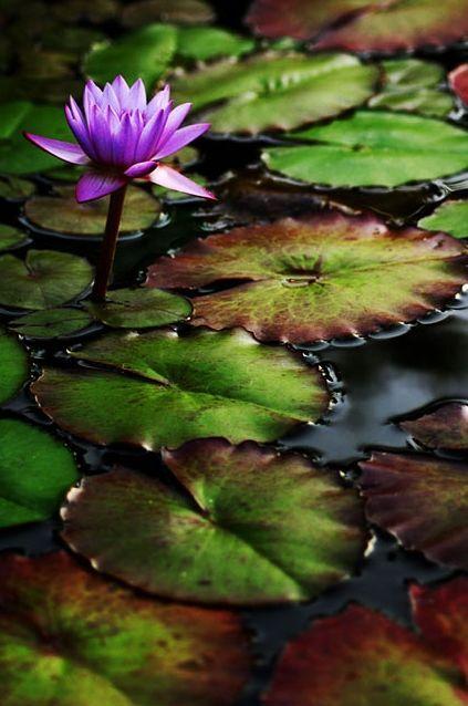 Em seu habitat flor de loto pinterest water lilies flowers em seu habitat mightylinksfo