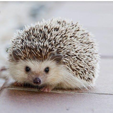 Cute Hedgehog – Cute Animals   かわいいハリネズミ. ハリネズミの赤ちゃん. かわいい動物の赤ちゃん