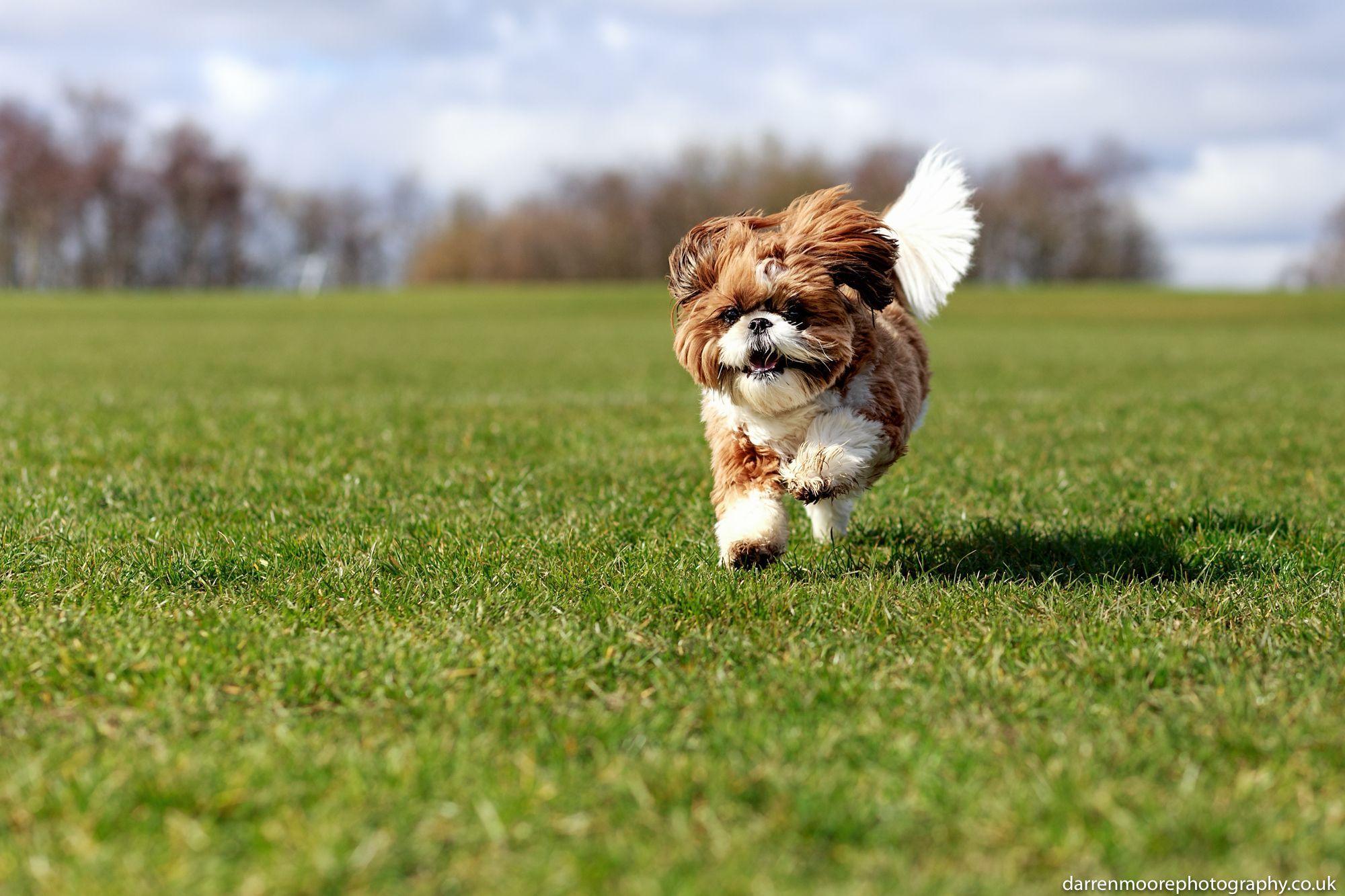 Book Your Shih Tzu Dog Photoshoot Today Shih Tzu Shih Tzu Photos Dog Photogra In 2020 Shih Tzu Dog Dog Photograph Dog Photoshoot