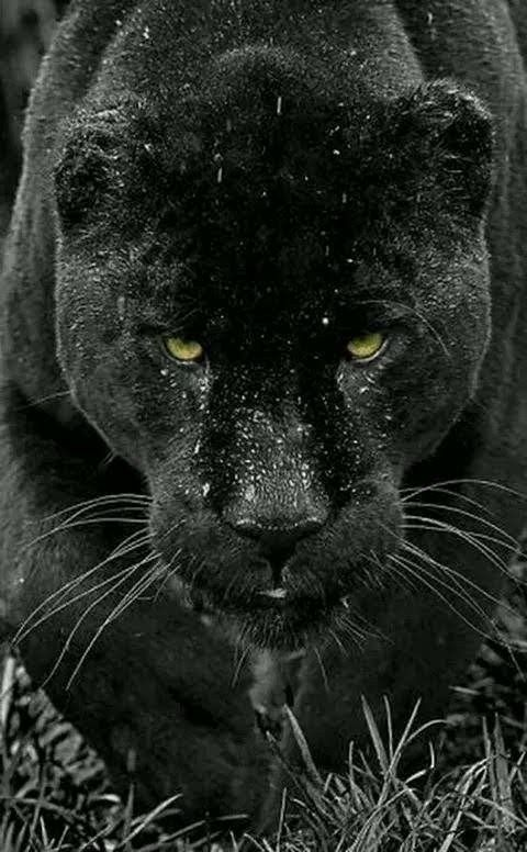 Pin By Krys Wortley On Beautiful Wildlife Black Jaguar Animals Animals Beautiful