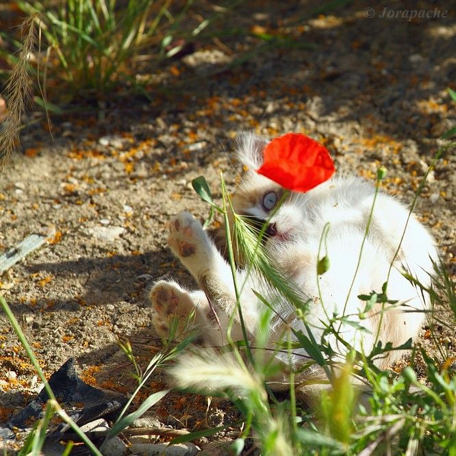 The kitten and the poppy by Jorapache
