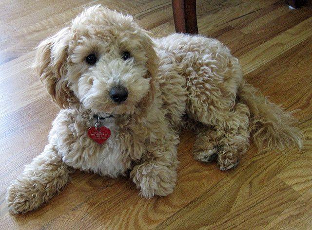 Charlie My Poochon Puppy Poochon Dog Poochon Puppies Poodle Mix Breeds