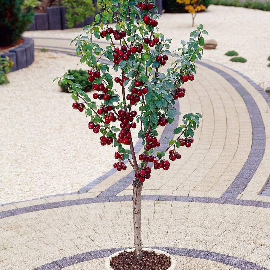 Top 6 Dwarf Fruit Trees You Can Plant In A Mini Garden Dwarf Fruit Trees Fruit Trees Uk Fruit Trees