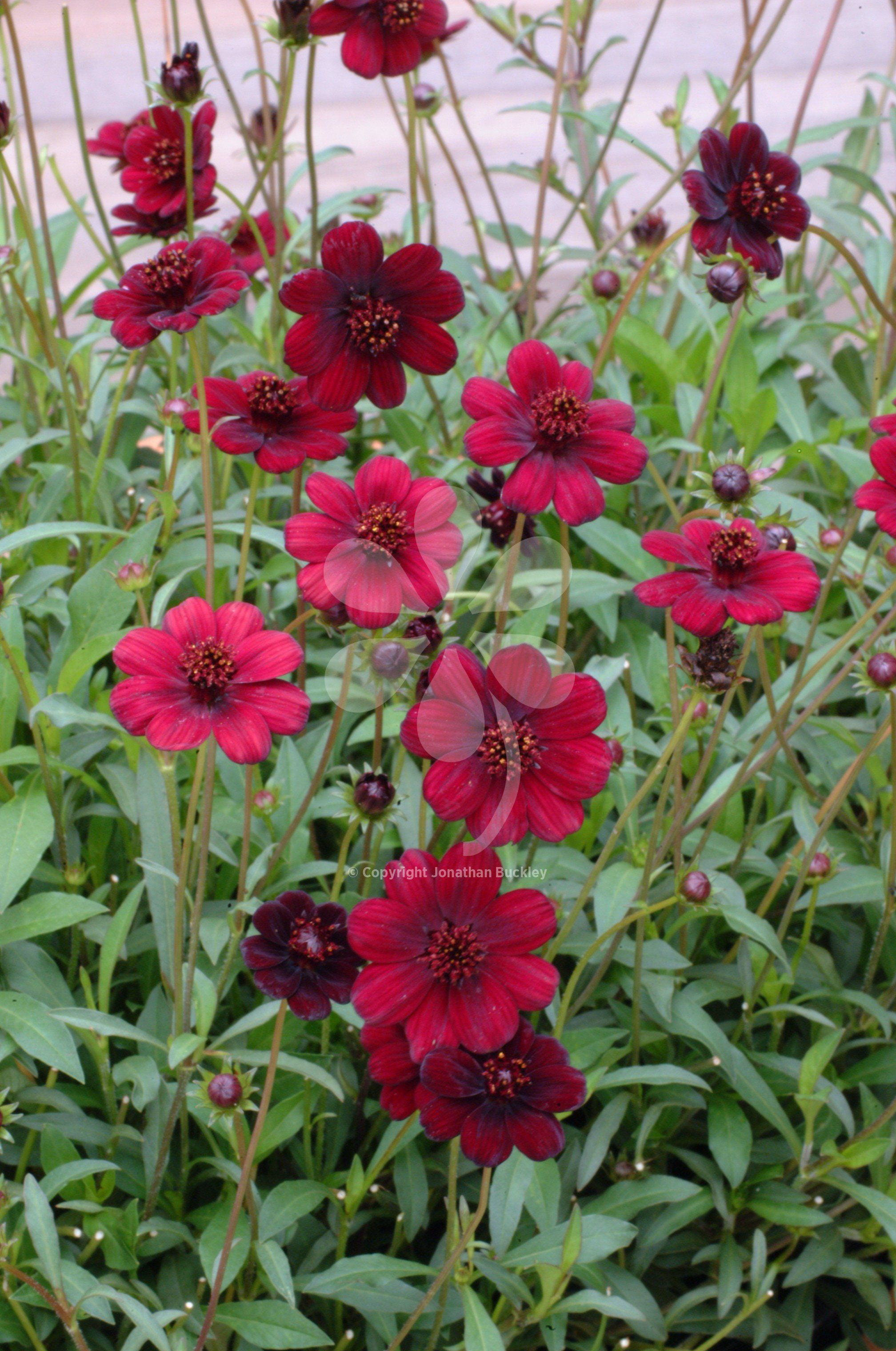 Cosmos atrosanguineus chocamocha cosmos perennials and cut this shorter variety of chocolate scented cosmos can be overwintered as a perennial grow it izmirmasajfo