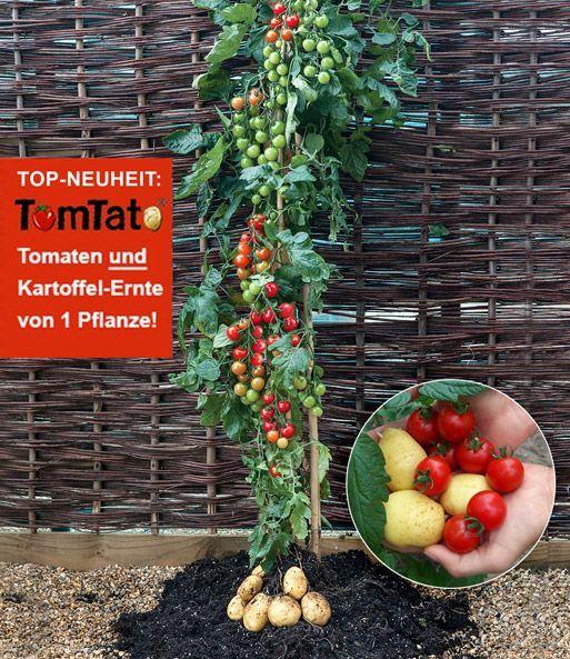 Pflanz-Tipps für die Tomoffel = Tomate + Kartoffel #tomatenpflanzen