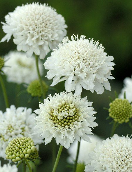 scabiosa atropurpurea 39 snowmaiden 39 saatgut vielfalt. Black Bedroom Furniture Sets. Home Design Ideas