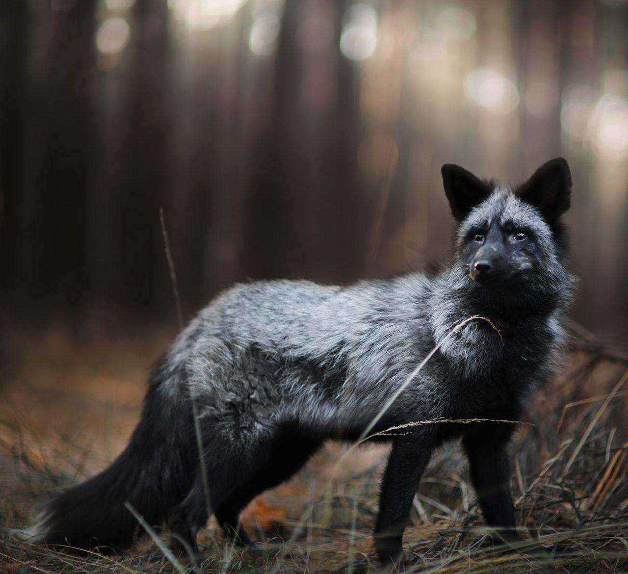 """Beautiful-wildlife: """"Silver Fox By © Iza Lyson """""""