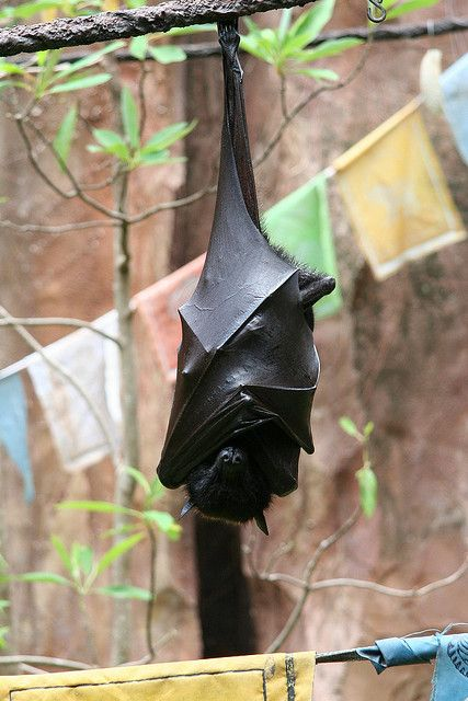 .....These bats are huge, maybe the size of a squirrel