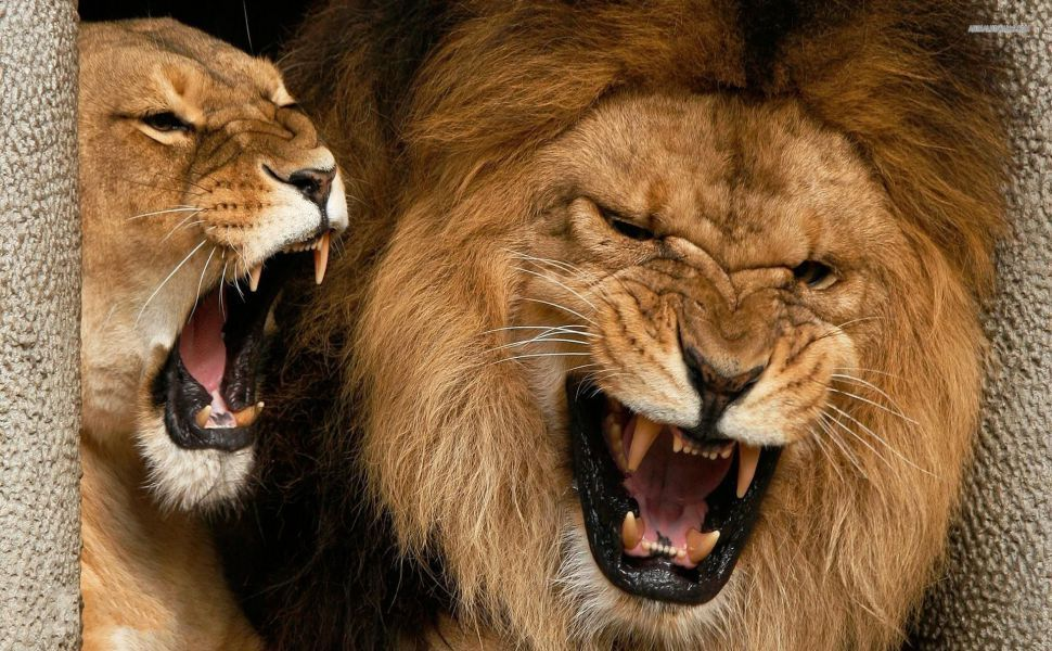 angry lions hd wallpaper