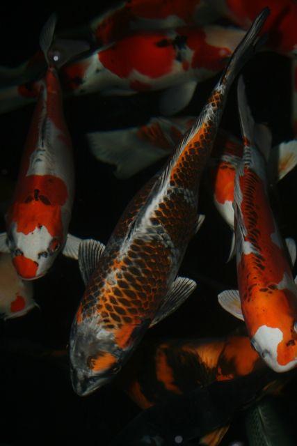 Pin By Tammy Minder On Freshwater Koi Carp Fish Koi Fish Koi Fish Pond