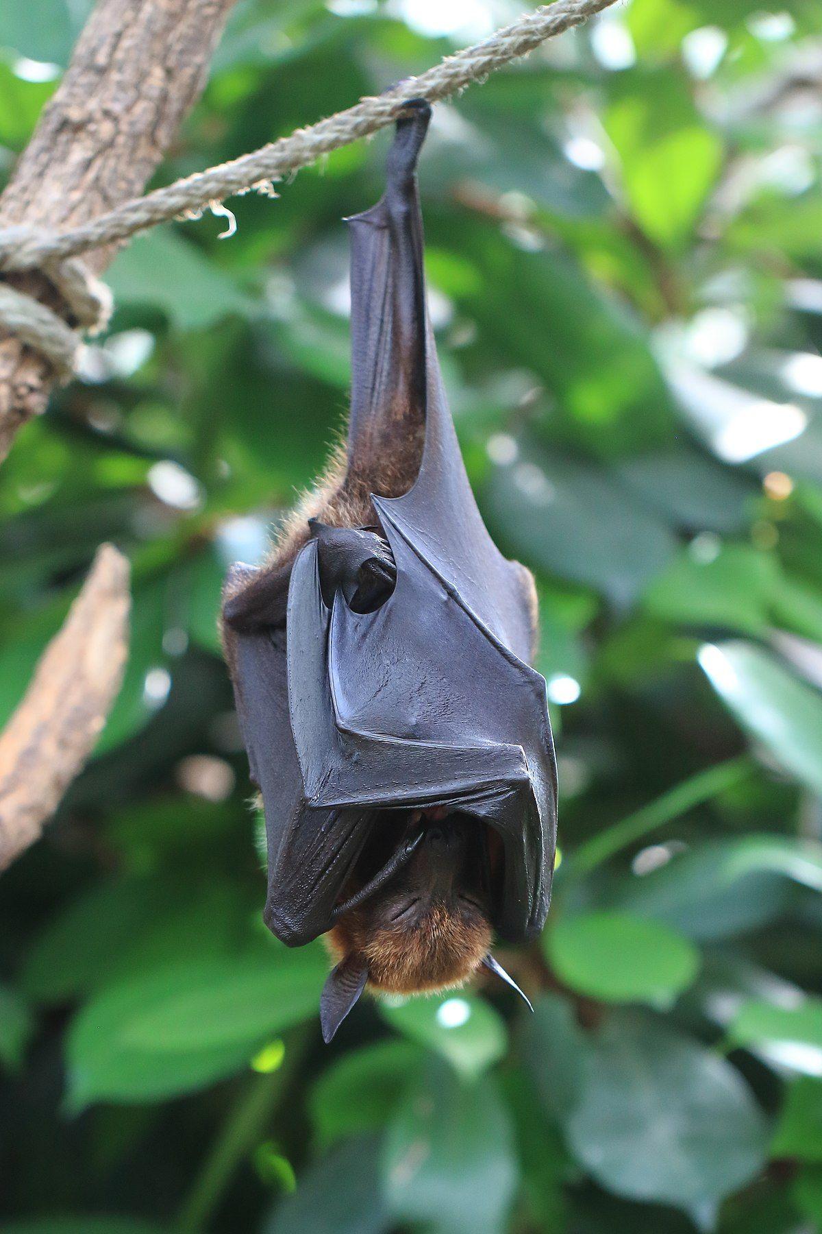 Megabats おしゃれまとめの人気アイデア Pinterest Cris コウモリ 蝙蝠