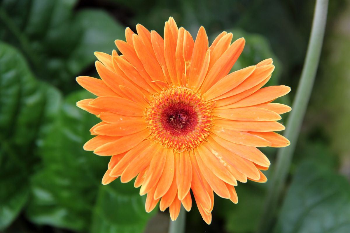 Do you know that Gerbera Daisy Flowers leaves are edible meaning they can