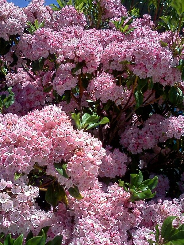 Pink Flowering Bush My Photos Of Flowers And Stuff Pinterest