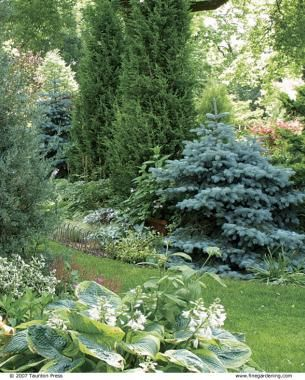 Designing With Dwarf Conifers.Two Dwarf Blue Spruces Mediate The Scale  Between Low Growing