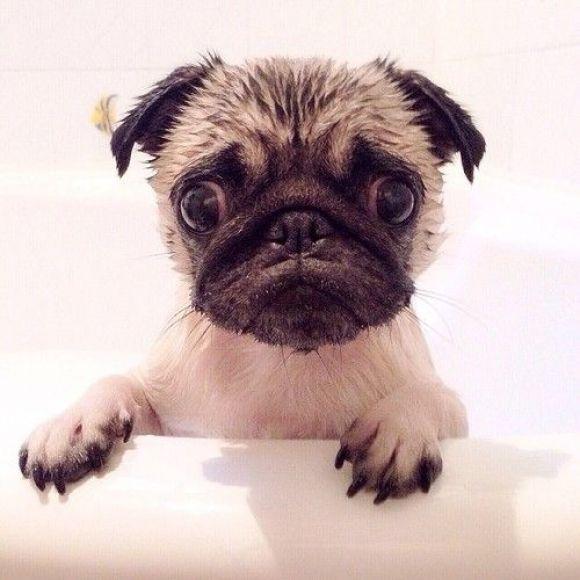 Little Wet Puppy Face Cutest Paw Pugs Funny Cute Pugs Cute